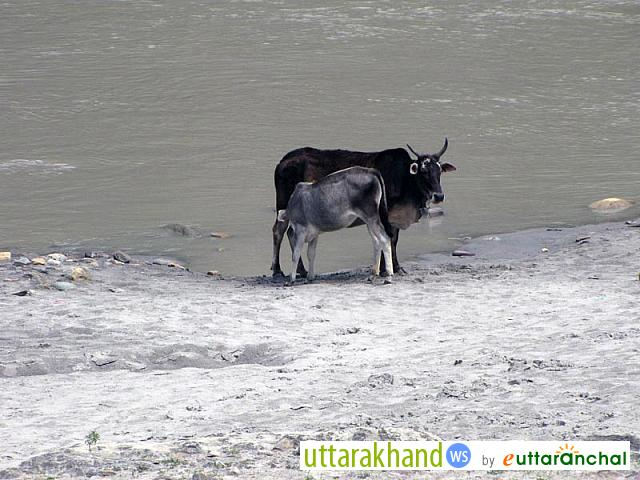 Cow and Calf on the bank River Ganga