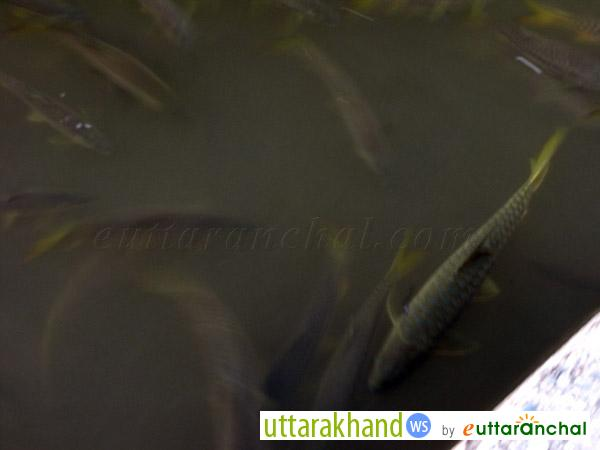 Fishes in Gomti River near Baijnath Temple