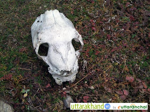 Skull found on the way to Rudranath Temple