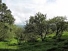 Apple Orchard in Chaubatia Garden